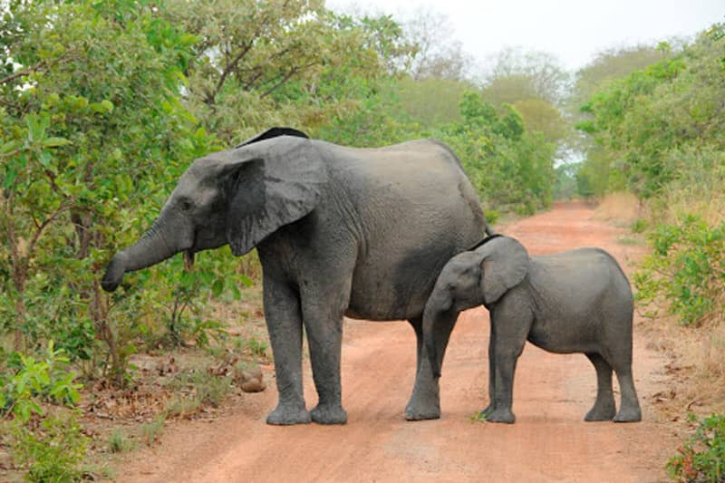 An adult Asian elephant and her calf