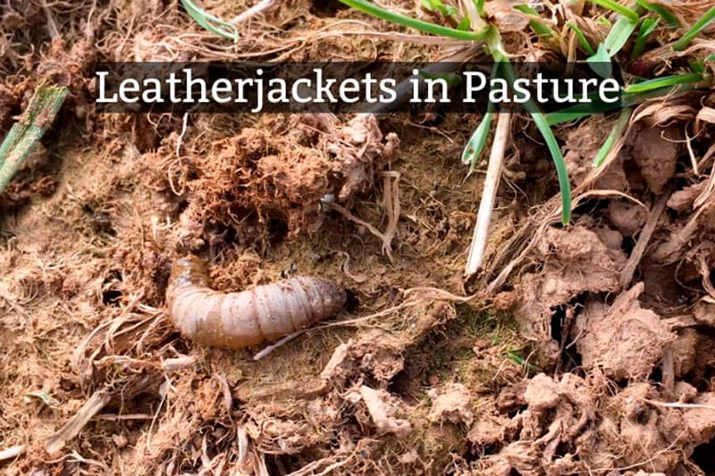 A leatherjacket in pasture