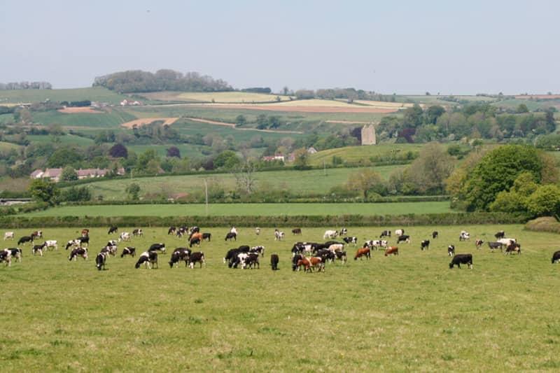 Cattle grazing at Godminster Farm