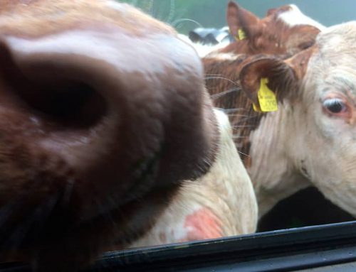 Defra Live Animal Export Consultation: More than meets the eye