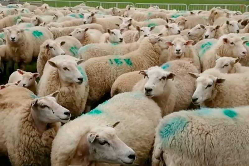 Lleyn sheep at Penbugle Farm