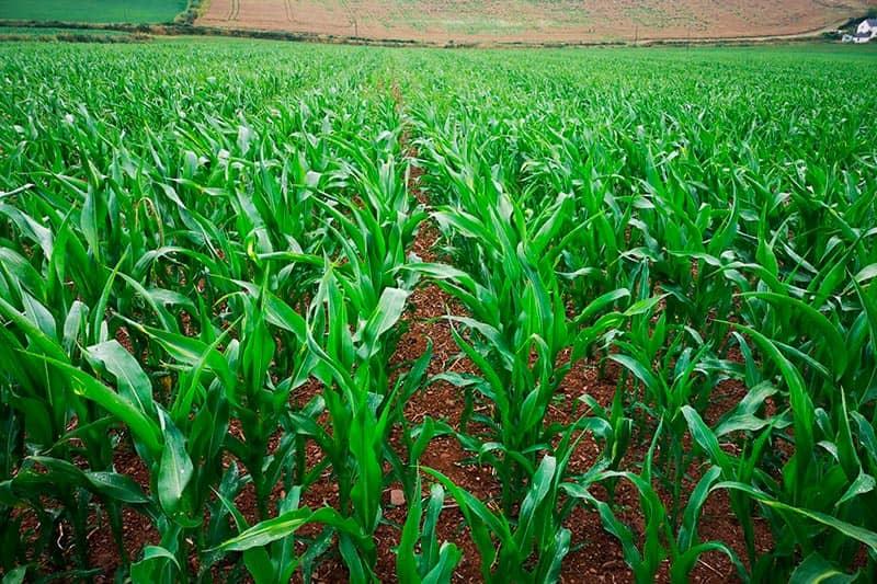 Strip-till maize trial 2