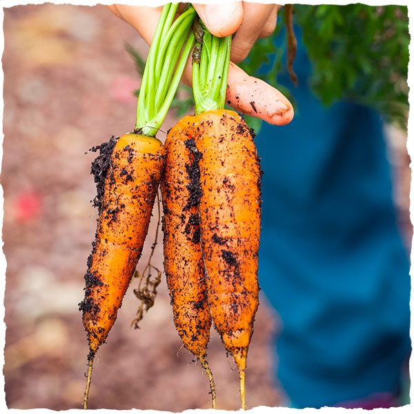 Handpicked organic carrots