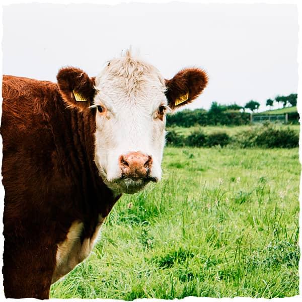A cow in a field