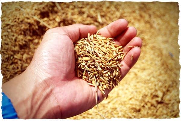 Hand holding wheat kernels