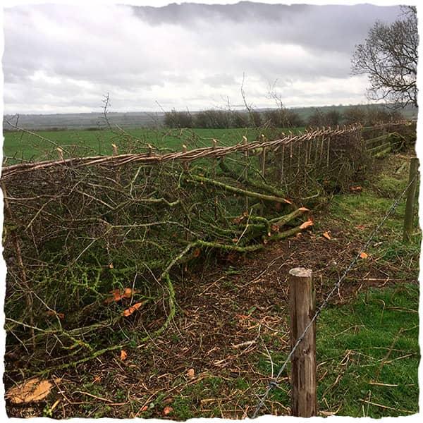 Environmental stewardship, hedge laying